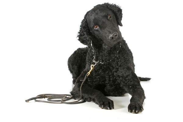 Curly-Coated Retriever Care Requirements