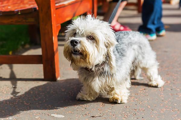 Dandie Dinmont Terrier2