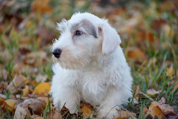 Sealyham Terrier Care Requirements