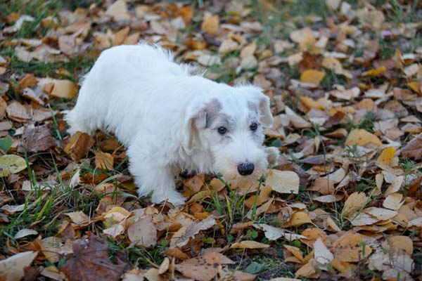 Sealyham Terrier Dog Breed