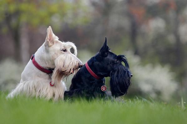 Sealyham Terrier Facts