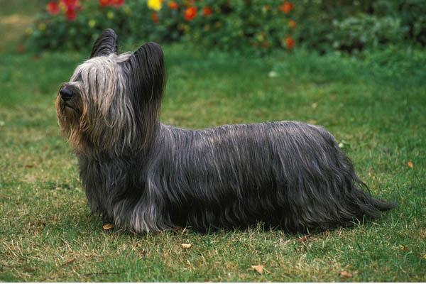 Skye Terrier Care