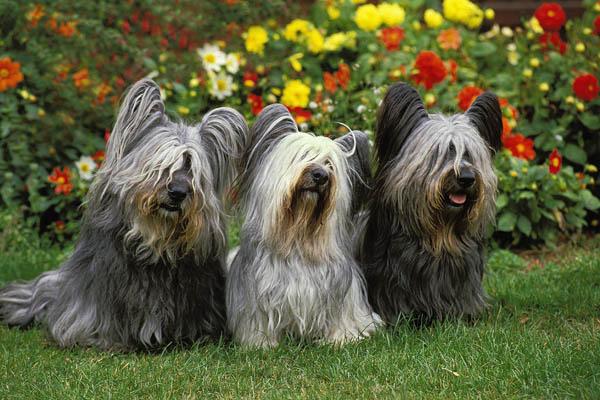 Skye Terrier Facts