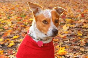 doggie in a sweater