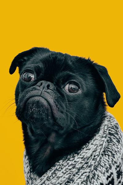 old dog wearing sweater
