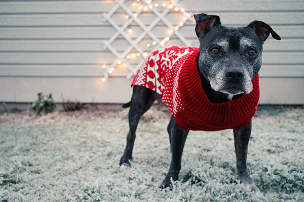 pup wearing a dog sweater